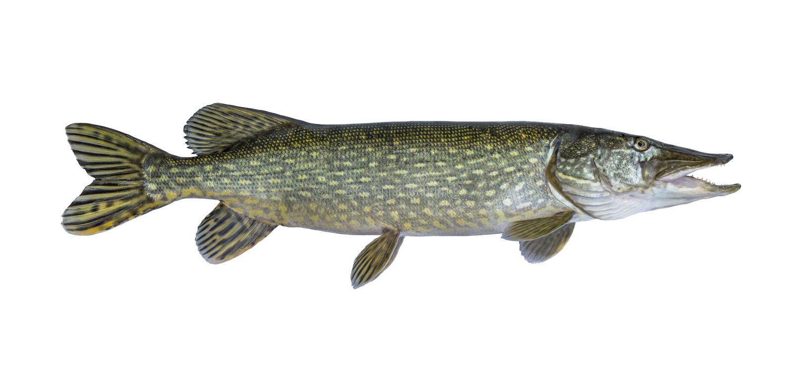 Big live pike fish isolated on white royalty free stock photography