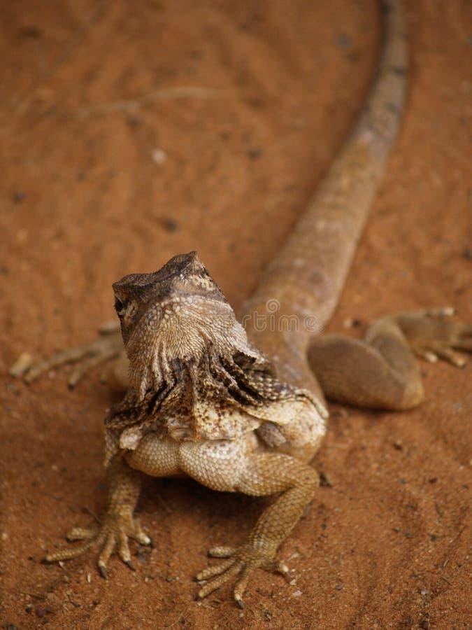 Big Lizard royalty free stock photo