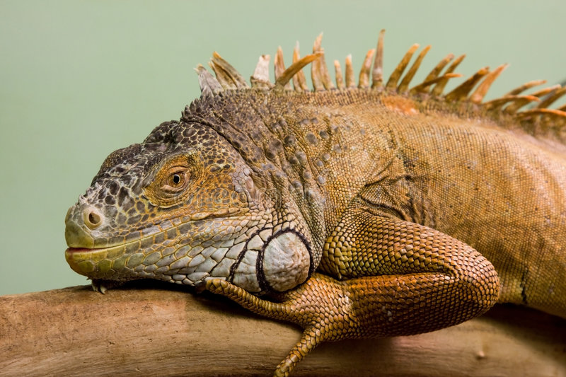 Download Big lizard close-up stock image. Image of frame, isolated - 6547433