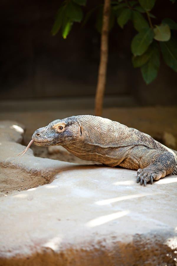 Download Big lizard dragon stock image. Image of komodo, outdoor - 21241161