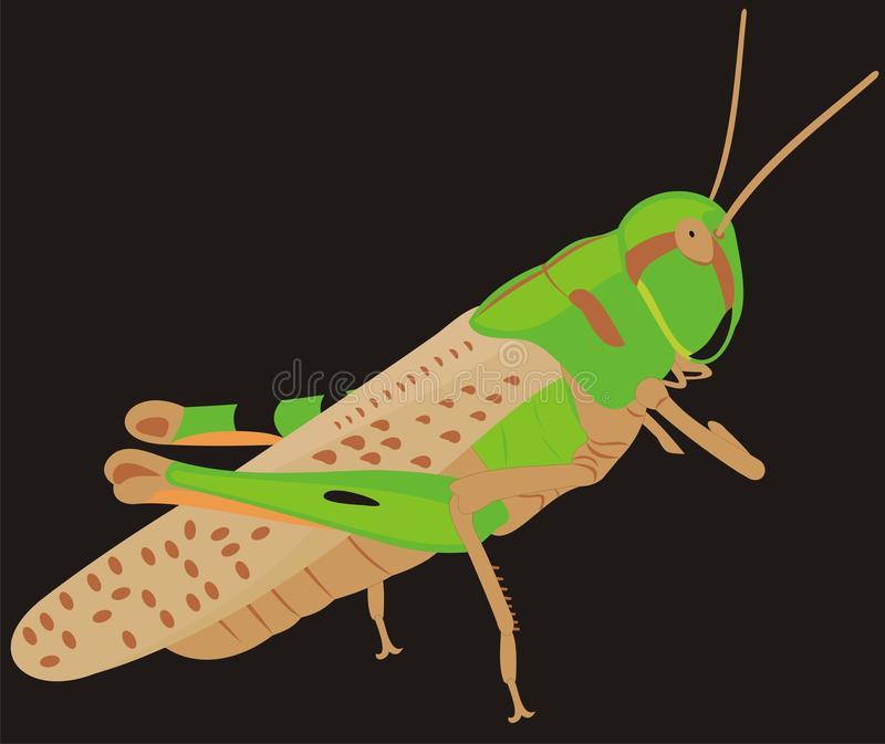 The big locust. A harmful insect. A winged insect royalty free illustration