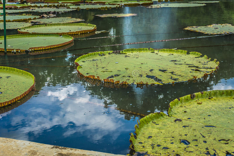 Big Lotus or water lily leaves on a pond with green water photo taken in Kebun Raya Bogor Indonesia. Java royalty free stock photography