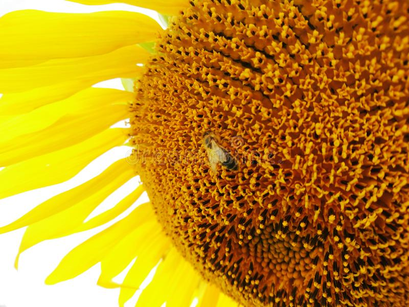 Big macro summer sunflower with bee yellow color nature photo stock photos
