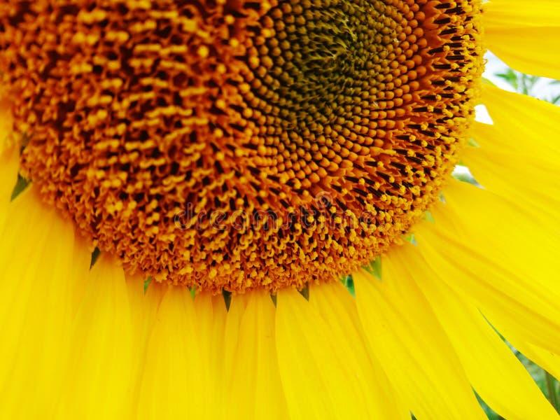 Big macro summer sunflower  yellow color nature photo. Big flower macro sunny positive summer sunflower honey yellow color nature photo stock photo