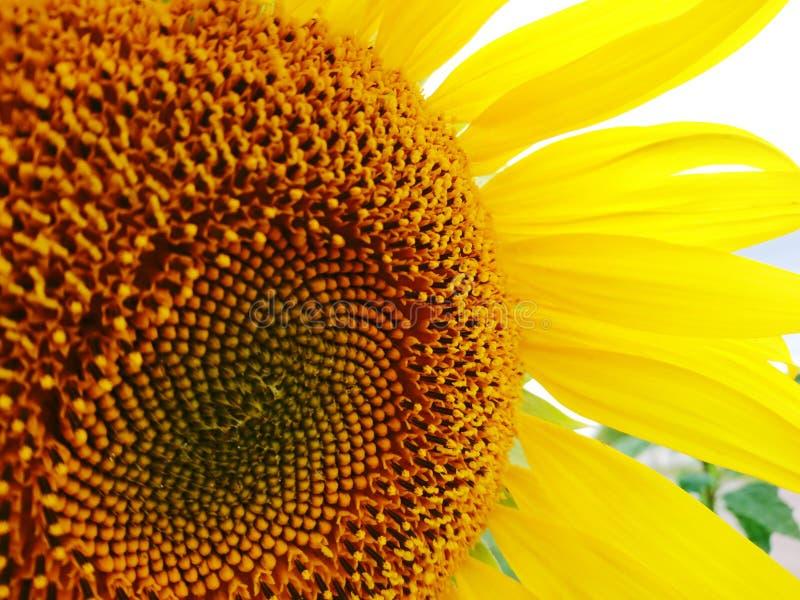 Big macro summer sunflower  yellow color nature photo. Big flower macro sunny positive summer sunflower  honey yellow color nature photo royalty free stock photos