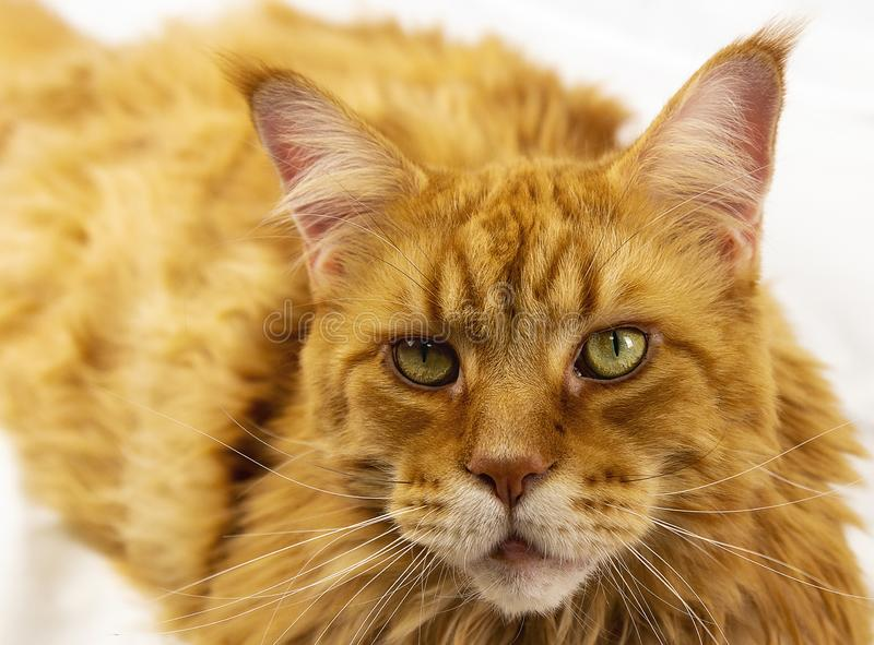 The big Maine Coon portrait on a white background. Piercing cat look stock photos
