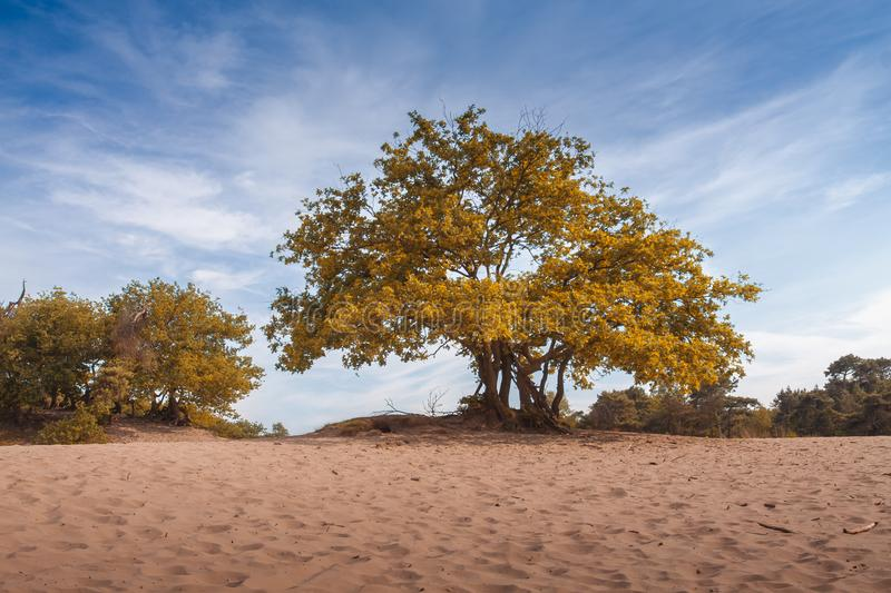 Big majestic tree with green yellow and orange leaves in sandy soil landscape, dunes panorama blue sky stock image