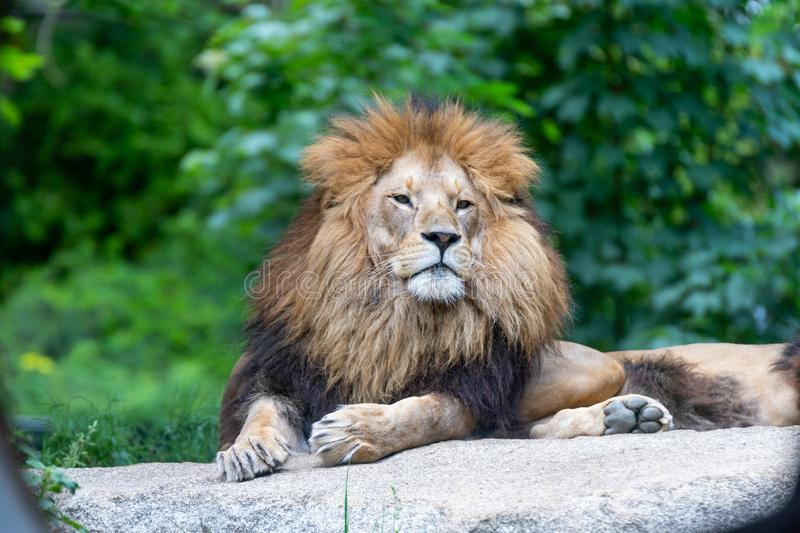 Big male african lion with brown hair posing in superior gesture royalty free stock photography