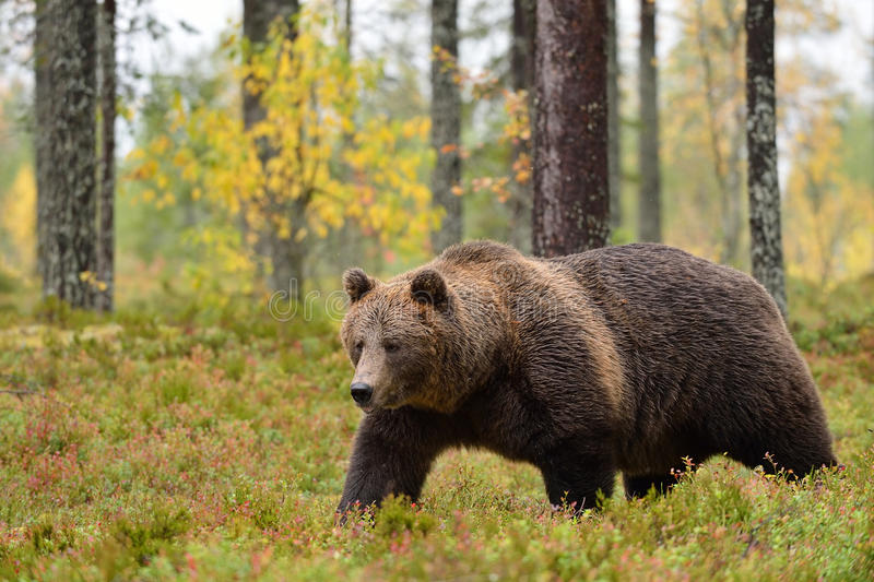 Big male bear walking in forest. At autumn royalty free stock photos
