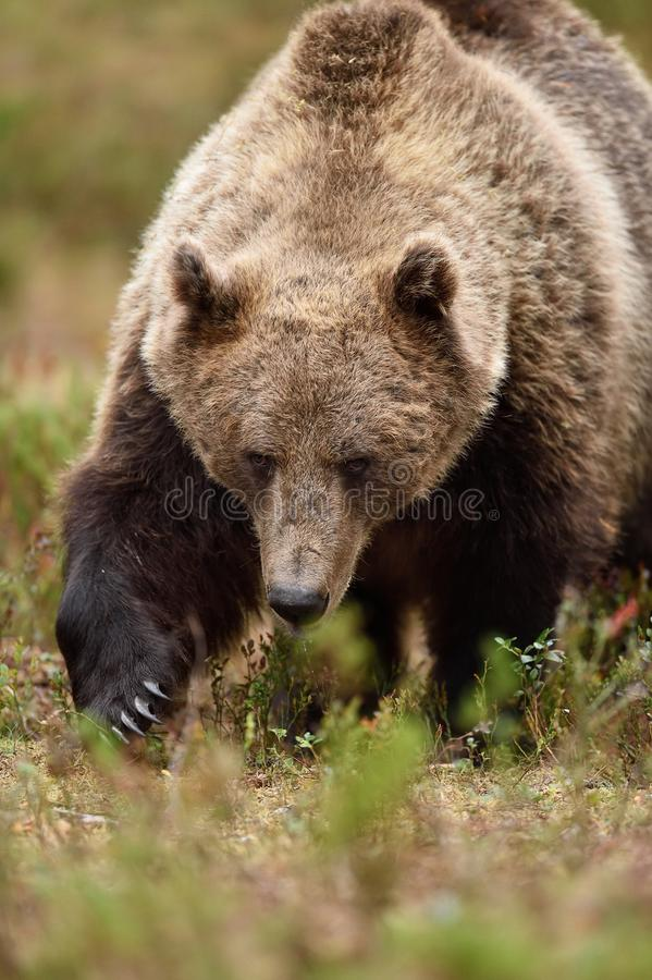 Big male brown bear approaching in the forest. Bear claws. Closeup royalty free stock photo