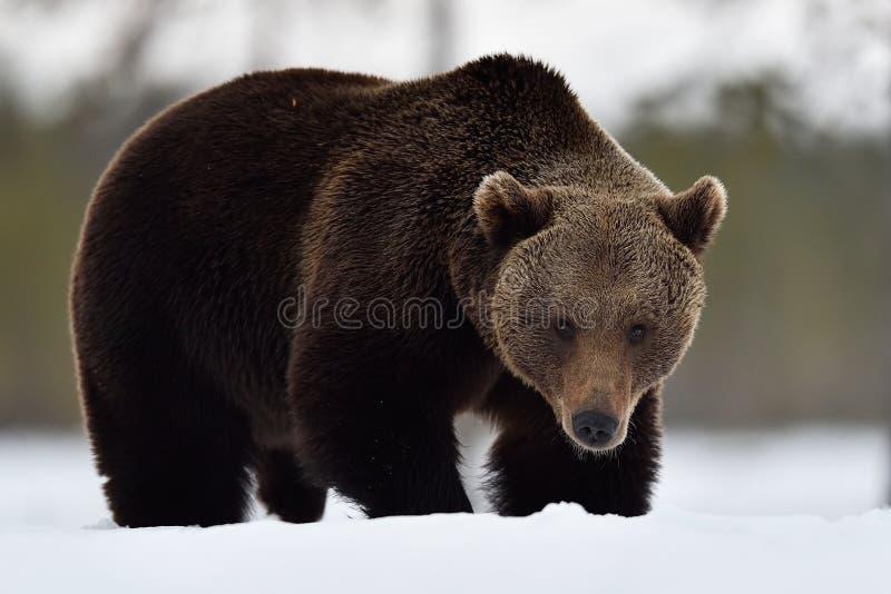 Big male brown bear on snow stock image