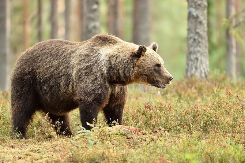 Big male brown bear in the summer forest, natural habitat royalty free stock photography
