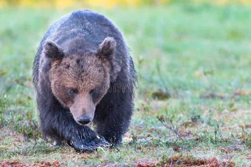 Big male brown bear walking in swamp stock image