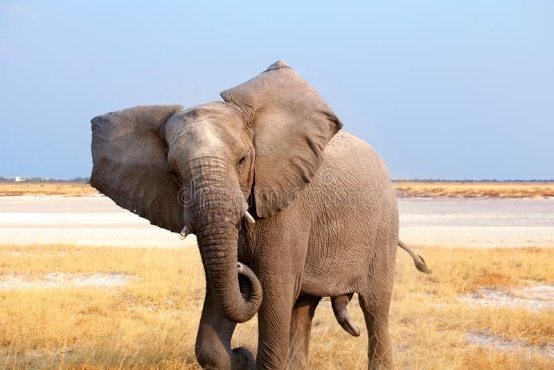 Big male elephant with long trunk close up in Etosha National Park, Namibia, Southern Africa stock image