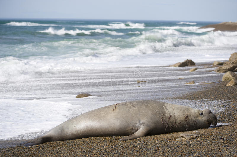 Big male elephant seal, Patagonia, Argnentina. stock image