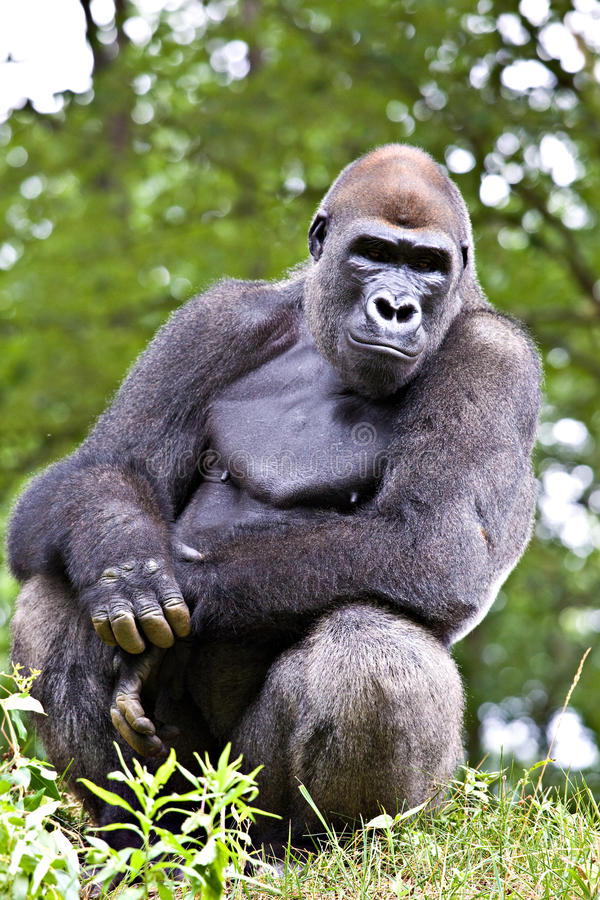 Free Big Male Gorilla Royalty Free Stock Image - 11154356