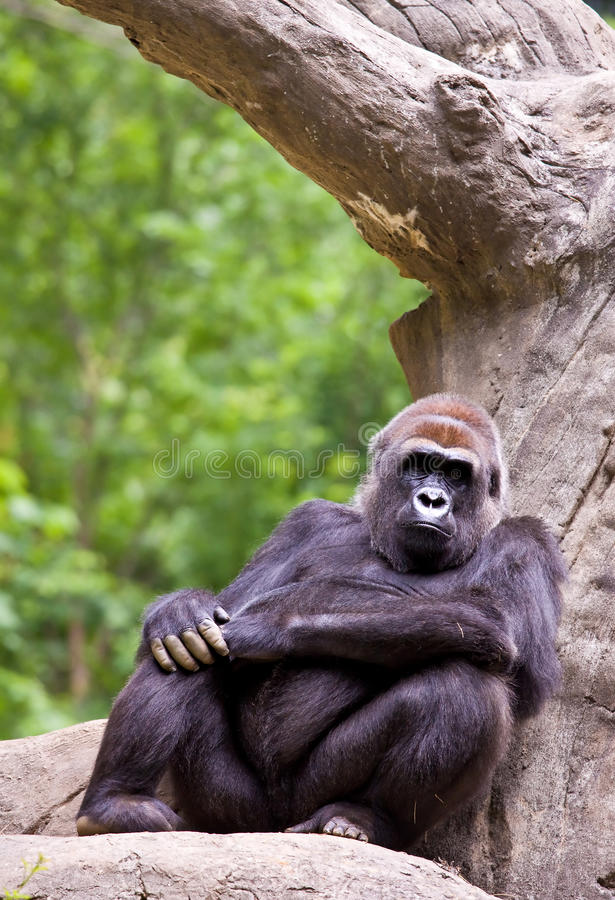 Download Big male gorilla stock photo. Image of black, silverback - 11706614