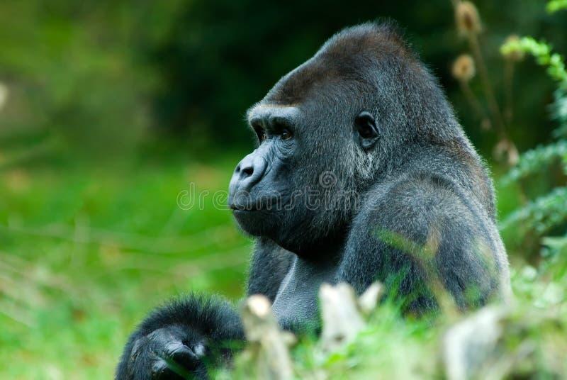 Big male gorilla royalty free stock photos