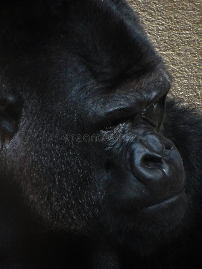 Big male gorilla: face closeup stock images