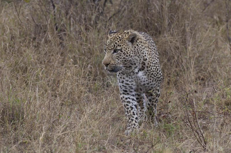 Big male leopard on the hunt for prey royalty free stock photography