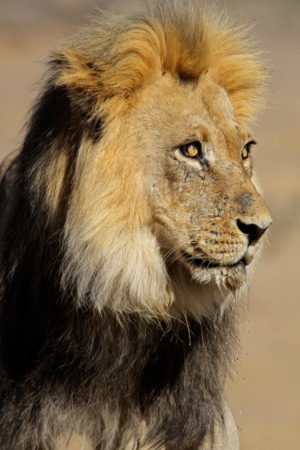 Download Big male lion stock image. Image of carnivore, natural - 20908377