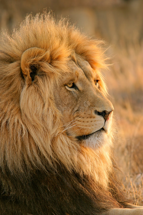 Big male lion stock photography