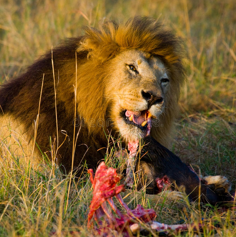 Big male lion with gorgeous mane eating prey. National Park. Kenya. Tanzania. Maasai Mara. Serengeti. royalty free stock images