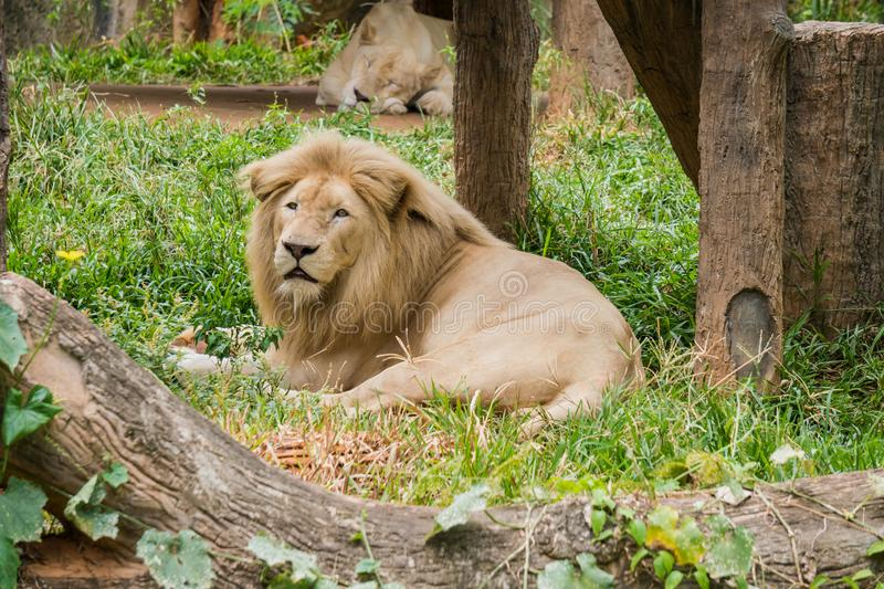 Big male lion lying on the grass stock images