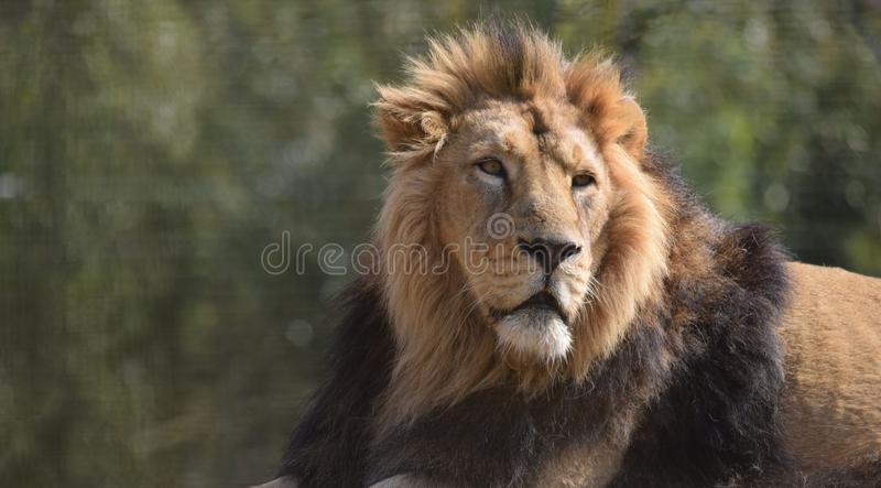 Big Male Lion Portrait Head face and mane. A male alpha head of the pride lion Panthera Leo with a full mane looking regal and noble against a natural background stock photos