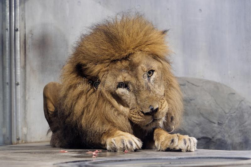 The big male lion sitting on the floor in zoo. stock images