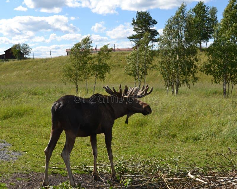 Big male moose stock photos