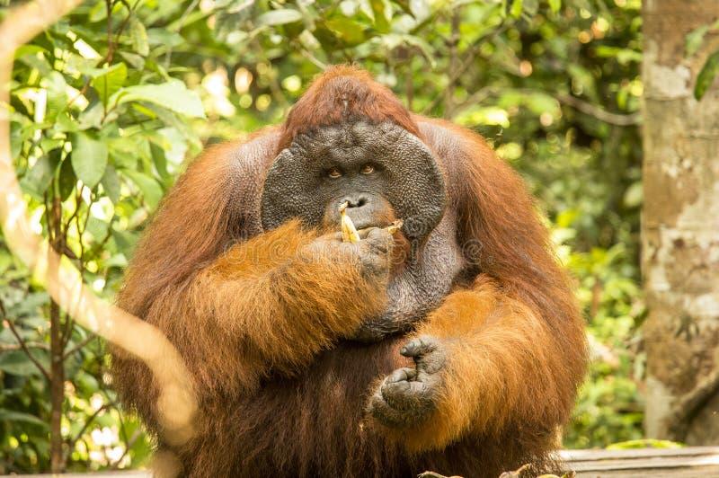 Big male Orangutan eating a banana. In the jungle of Kalimantan stock image