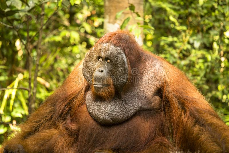 Big male Orangutan sitting relaxed in the sun. Big male Orangutan just being impressive in the jungle of Kalimantan royalty free stock images