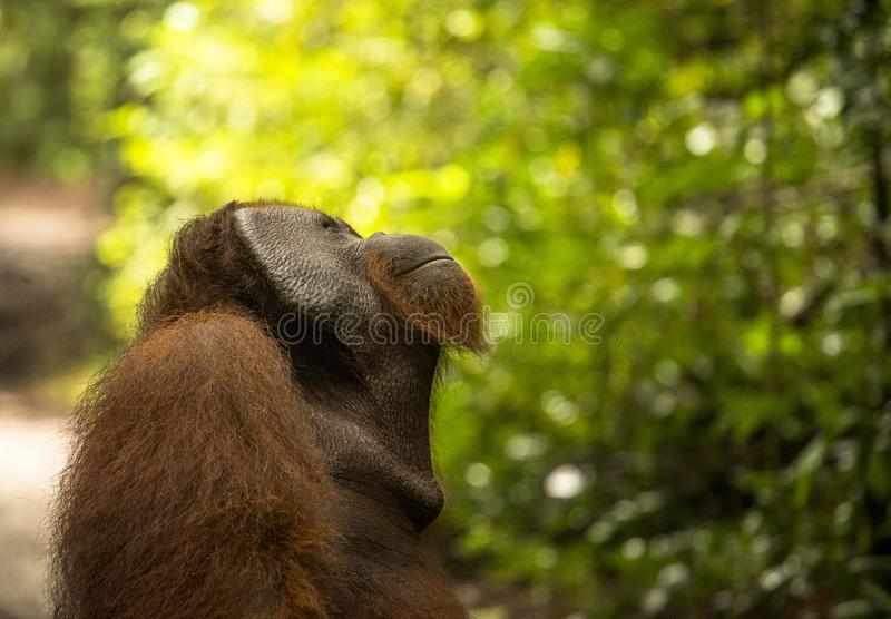 A big male orangutan looking up to the sky. In the jungle of Kalimantan, Borneo royalty free stock photography