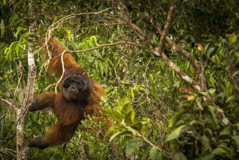 A big male orangutan making impressive moves. In the jungle of Kalimantan, Borneo royalty free stock photography