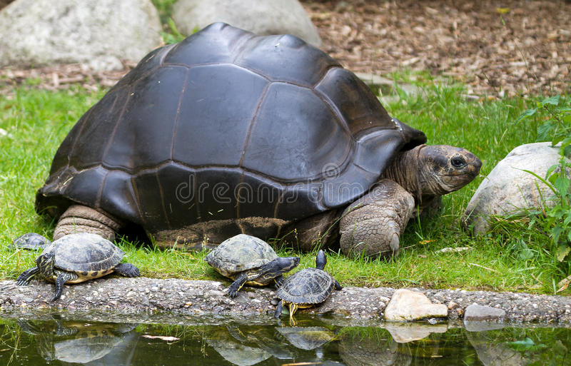 Big mamma turtle stock photo