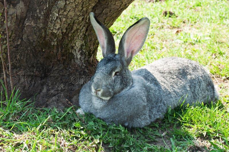 Big mammal rabbit. On a green grass stock photo