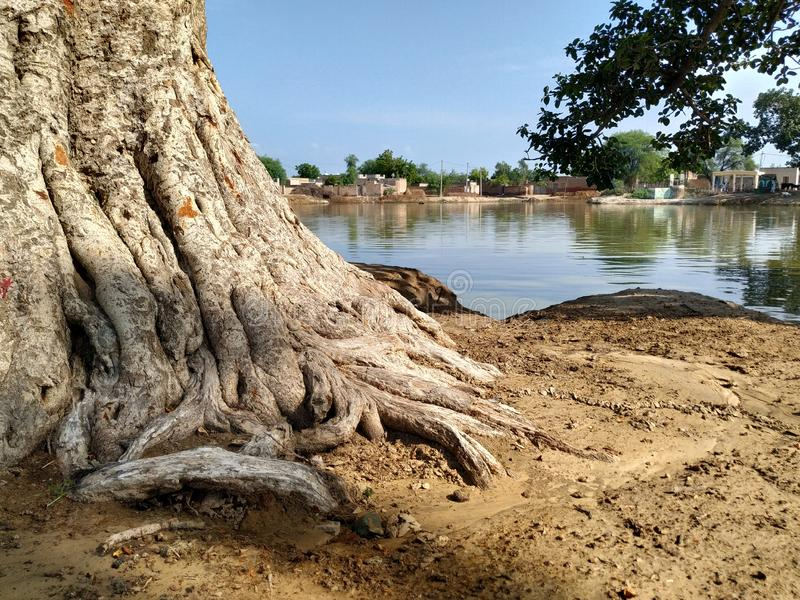 Big and many roots of big tree. Nature stock photos