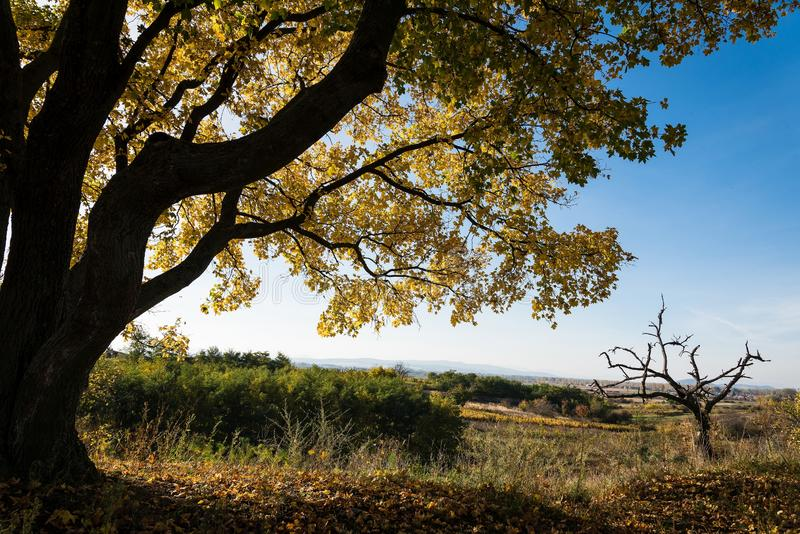 Big maple tree with yellow leaves in autumn under blue sky stock photos