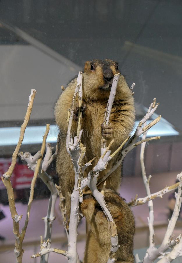 The big marmot staying at the top of the branch royalty free stock photos
