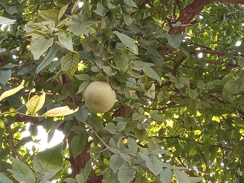 Big Mata fruit in India Kanpur. Beautiful Malta fruit growing in ground in India Kanpur UP stock photo