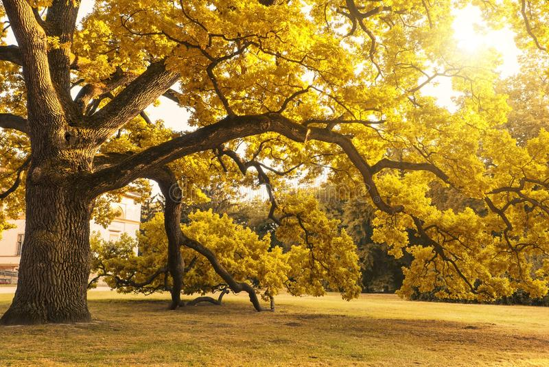 Big mature autumn tree. In the park royalty free stock images