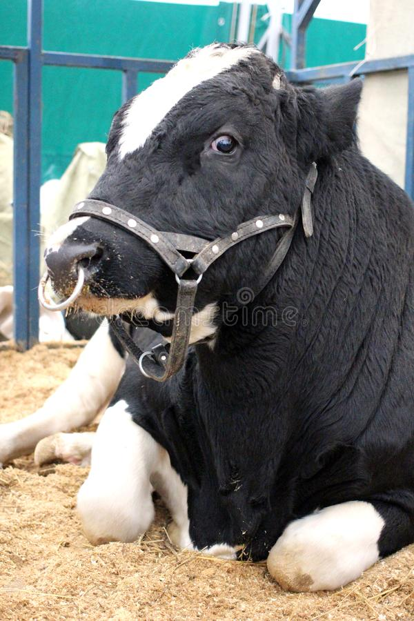 Big meat black and white cow bull lying on the farm. Big meat black and white cow breed bull lying on a dairy farm royalty free stock photography