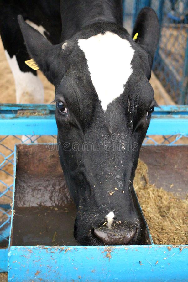 Big meat black and white cow bull lying on the farm. Big meat black and white cow breed bull lying on a dairy farm stock image