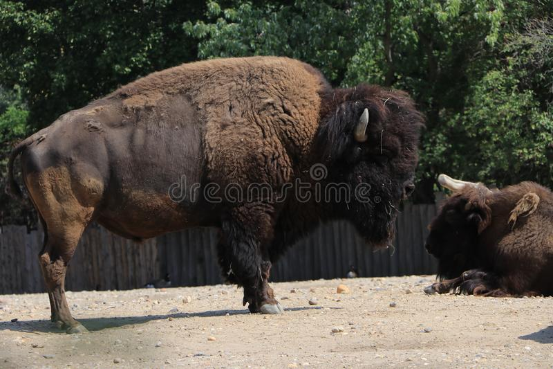 Herd of bison in the pasture. Big and mighty bison is worth, near lies the second bison stock photos