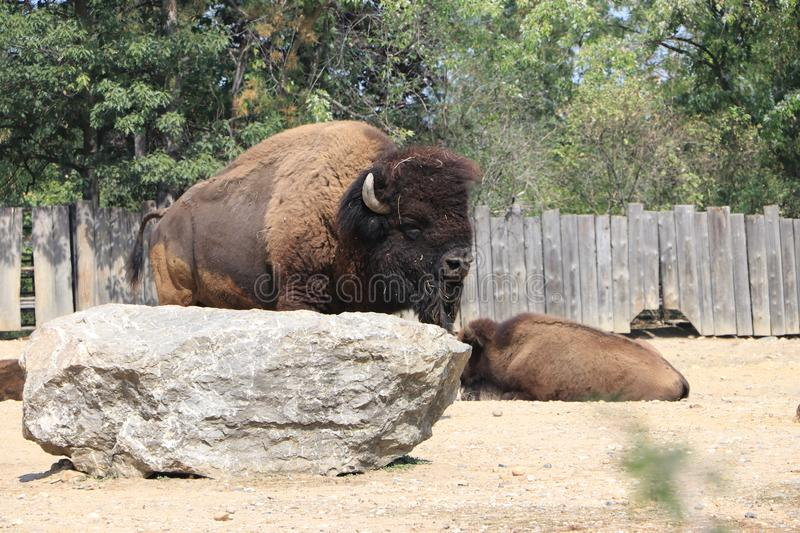 Herd of bison in the pasture. Big and mighty bison is worth, near lies the second bison stock photo