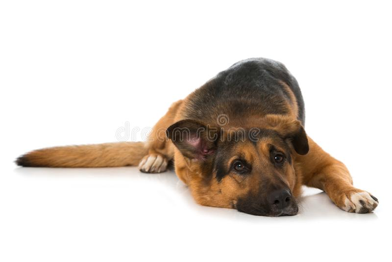 Big mixed breed dog lying on white background. And looking to the camera royalty free stock photos