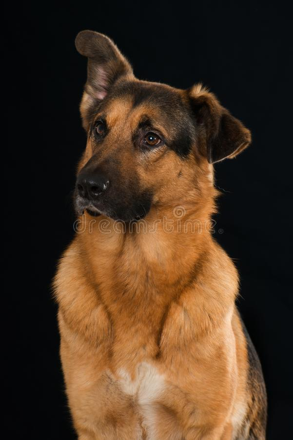 Big mixed breed dog sitting on black background. And looking to the side stock images