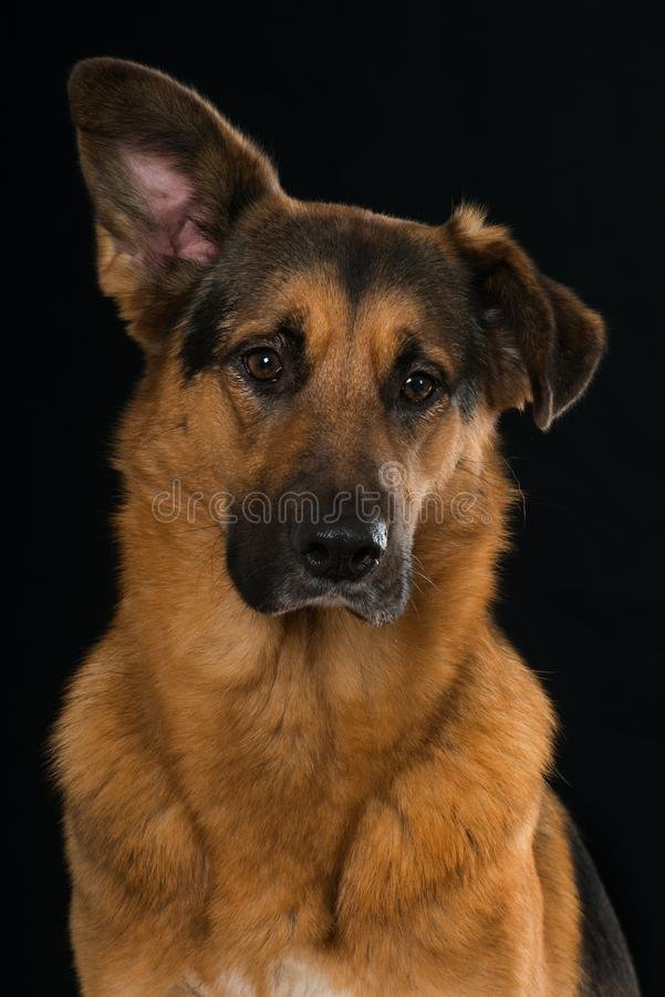 Big mixed breed dog sitting on black background. And looking to the camera stock images