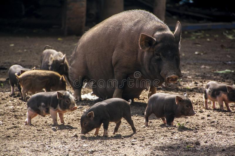 Mother pig and many cute piglets around stock photography